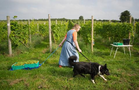 Elizabeth Smith uses a sledge to drag freshly cut grapes as work begins, September 28, at the start of the first grape harvest this year at Ryedale Vineyards in England. The family-run business situated close to York is set on the south facing slopes at the foot of the Yorkshire wolds.