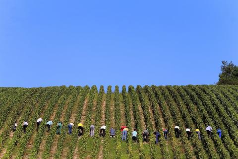 People take part in the grape harvest for the Champagne house Koza-Janot, on September 24, 2013.
