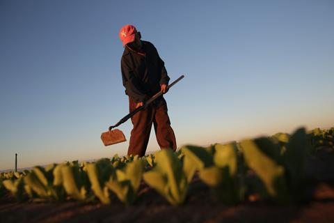 A Mexican agricultural worker cultivates lettuce on a farm on October 8, 2013. Thousands of Mexican workers cross the border legally each night from Mexicali, Mexico into Calexico, CA, where they pick up work as agricultural day laborers in California's fertile Imperial Valley.