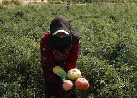 A Syrian refugee working on a Lebanese farm, collects heirloom tomatoes during a harvest in Bekaa Valley, Lebanon, September 21, 2013.