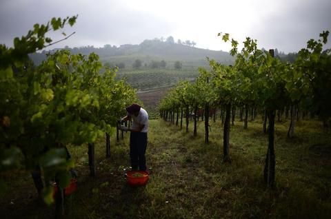 Employees work in a vineyard on September 16, 2013 during the harvest in Zenevredo, northern Italy.