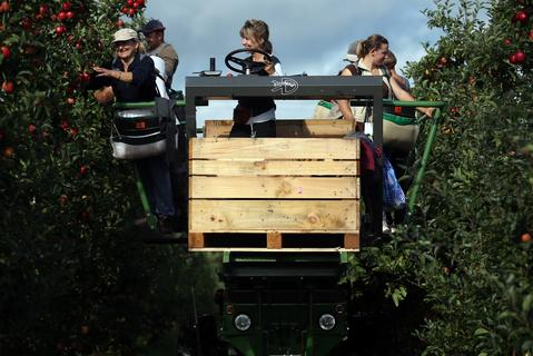 Apple pickers gather Gala apples in an orchard at Stocks Farm, October 8, 2013, in Worcestershire, England. According to English Apples and Pears, the fruit growers' trade association, the unusual combination of a late spring and hot summer has made this year's English crop the latest for a generation.