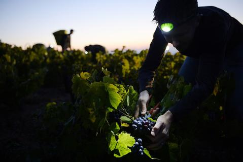 "A picker working overnight cuts grapes at dawn on the first day of the Beaujolais harvest on September 24, 2013, in the ""Moulin a Vent"" vineyard, near Chenas, Beaujolais, eastern France. Harvest in Beaujolais region will run until October 20."
