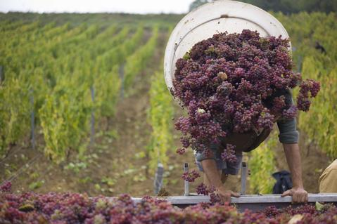 Workers pick grapes during the harvest at the Chateau l'Etoile vineyard, in l'Etoile, France, October 8, 2013.