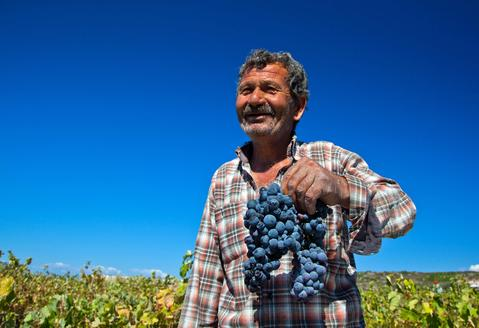 A laborer gathers grapes during a harvest at a vineyard on the island of Bozcaada in Turkey, September 4, 2013. Off the coast from the mythical city of Troy, the Turkish island of Bozcaada has an ancient tradition of wine making that is both a source of cultural pride and important for local tourism.