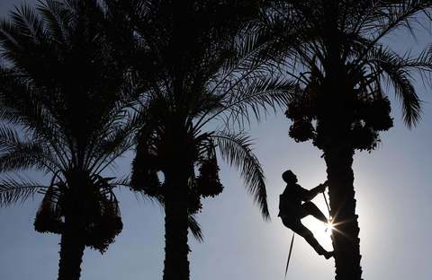 A Palestinian farmer harvests dates from a palm tree in Deir al-Balah, in the central Gaza Strip, September 29, 2013.
