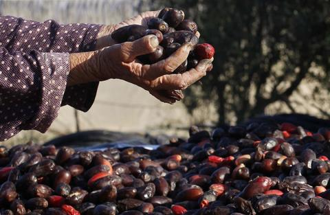 A Palestinian farmer collects dates that were harvested in palm trees, in Deir al-Balah in the central Gaza Strip, September 29, 2013.