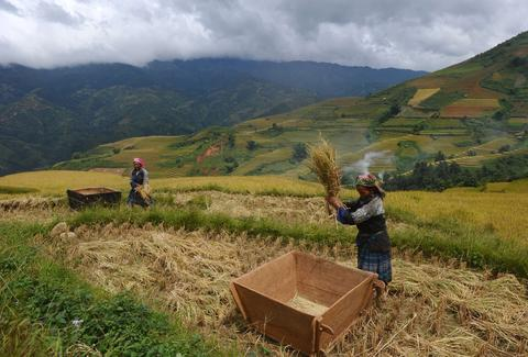 This picture shows Hmong ethnic hilltribe women thrashing bunches of paddy against a wooden box as they harvest rice on a terrace rice field in Mu Cang Chai district, in the northern mountainous province of Yen Bai. The local residents, mostly from the Hmong hill tribe, grow rice in the picturesque terrace fields whose age is estimated to hundreds years. Due to hard farming conditions, especially irrigation works, locals produce only one rice crop per year. In recent years a growing numbers of tourists have been attracted by the beautiful landscapes created by the region's rice terrace fields.
