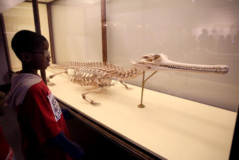 A student from Leif Ericson Elementary Scholastic Academy checks out a skeleton of an Indian Gavial.