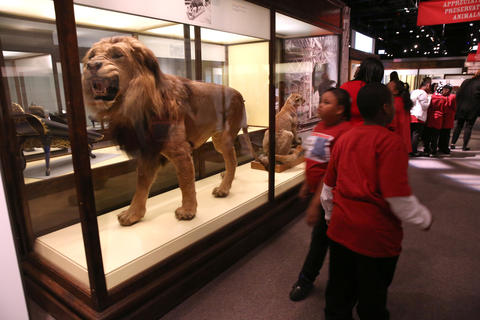 An African lion is a big hit with students from Leif Ericson Elementary Scholastic Academy.