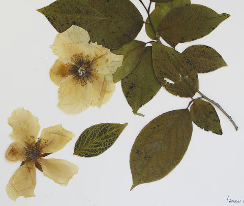 The Herbarium of the College of William and Mary is a repository of dried and pressed plant specimens that are used extensively in worldwide research. Here, a close-up of the sample of the rare Stewartia ovata (Cav.), from James City County.