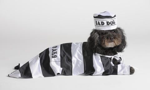Teddy Bean is deep in character here. He's actually a very good dog, but modeling the prisoner costume by Rubies. It's available for $11.99 at PetSmart.