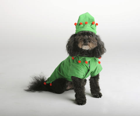 Bailey & Bella have another version of their jester costume -- we like to think of it as The Elf. Get the one Teddy is modeling at Pet Valu for $17.99.