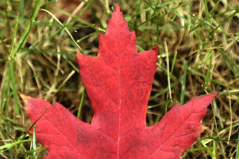 A freshly fallen leaf lies in the grass.