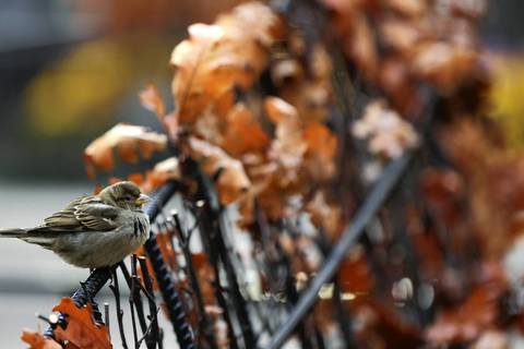 A small bird sits on a display of fall leaves on North Michigan Avenue in Chicago.
