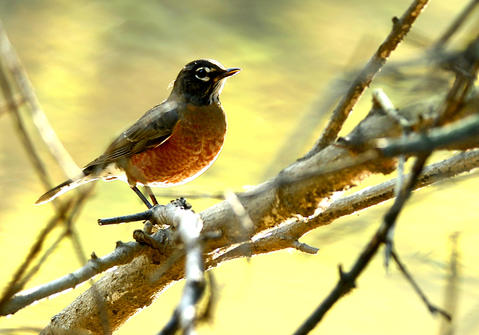 A robin sits on a branch over the Jordan Creek early in the day. This is on a fall morning on the Jordan Creek in Whitehall Township.