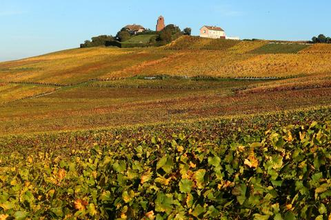 A picture taken on October 31, 2013 shows Champagne vineyards adorned with autumn colors, after the harvest, in Mailly-Champagne near Reims, eastern France.