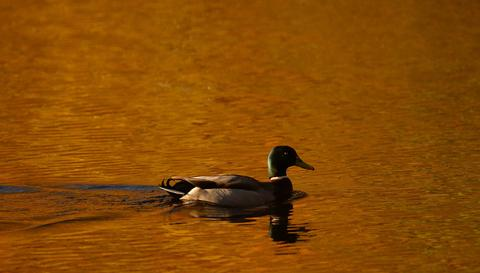 A duck paddles on Loch Faskally, as autumn leaves are reflected in the water by the morning sun, in Perthshire, Scotland, November 5, 2013.