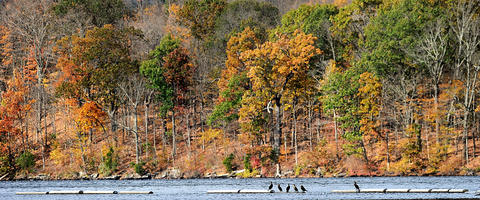 Common cormorants rests on buoys on Lake Nockamixon on a fall Friday afternoon.