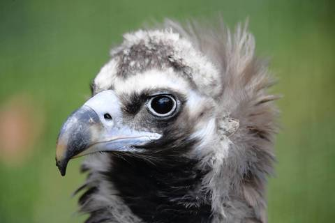Bruno is a male 26-year-old cinereous vulture at the Lincoln Park Zoo in Chicago.