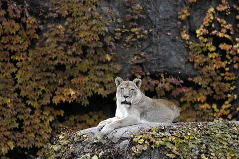 Myra, a 17-year-old African lion at the Lincoln Park Zoo in Chicago.