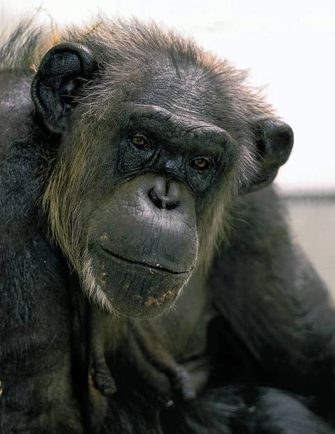 Vicky is a 50 year-old chimpanzee at the Lincoln Park Zoo.