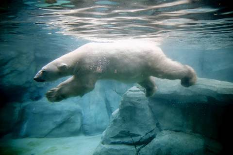 Aussie, the zoo's 28-year-old male polar bear, begins his day with a swim in his habitat at the Brookfield Zoo. Aussie has arthritis and other issues that come with being an old bear. Male polar bears average life expectancy is around 21 years.