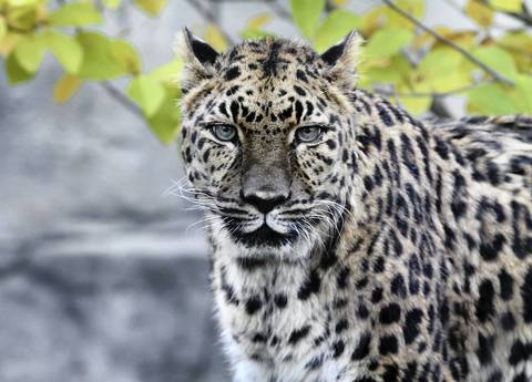 Anya is a 23-year-old female Amur leopard whose life expectancy is about 18 years. She has poor eyesight and arthritis. She lives at the Brookfield Zoo.