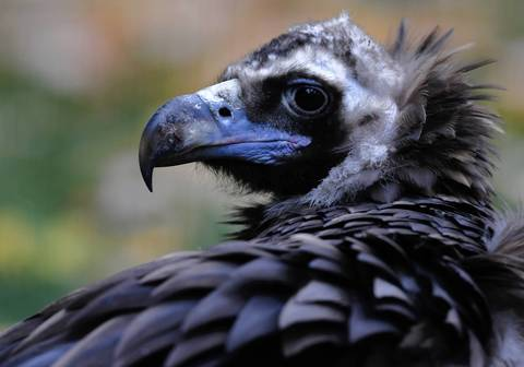 Lurch, a 25-year-old female cinereous vulture at the Lincoln Park Zoo in Chicago.