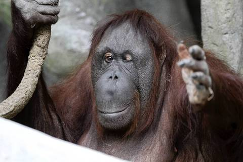 Maggie, a 52-year-old Bornean orangutan, has far exceeded the average old age of 25 years. She has cataracts, osteoarthritis among other health concerns. She is seen here reaching for snacks from her keepers at the Brookfield Zoo.