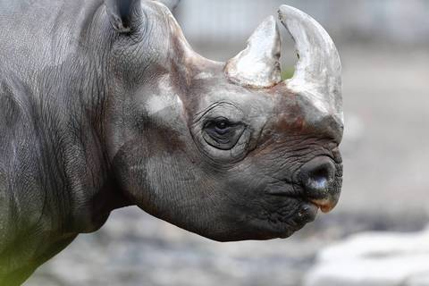 Maku, a 27-year-old male eastern black rhinoceros at the Lincoln Park Zoo in Chicago.