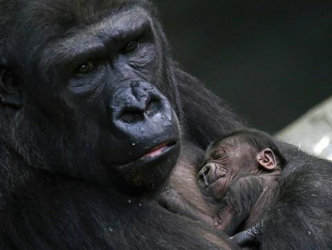 A two-day-old female western lowland baby gorilla sleeps in the arms of her mother Koola at the Brookfield Zoo in Brookfield, Illinois, November 6, 2013.