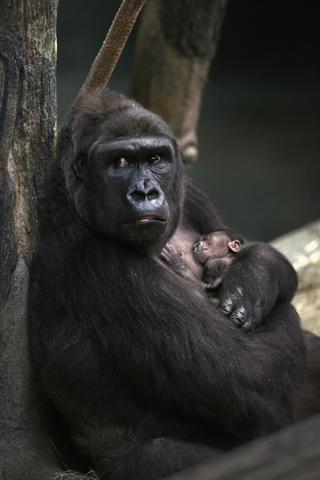 Koola, an 18-year-old western lowland gorilla holds her newborn infant in her enclosure at Brookfield Zoo on November 6, 2013 in Brookfield, Illinois. The infant was born November 4.