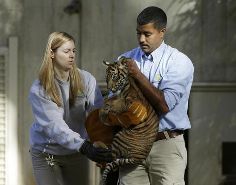 Male Sumatran tiger cub Bandar is carried by Smithsonian National Zoo curator of great cats and bears Craig Saffoe (R) and biologist Leigh Pitsko (L) to perform in a swim test in a moat for the animal in Washington November 6, 2013. Two Sumatran tiger cubs born August 5 were tested to have the ability to keep their heads above water, navigate the shallow end of the moat, and possess the strength and ability to climb onto dry land.