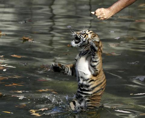 Male Sumatran tiger cub Bandar is tossed into a moat by Smithsonian National Zoo curator of great cats and bears Craig Saffoe (R) to perform in a swim test for the animal in Washington November 6, 2013. Two Sumatran tiger cubs born August 5 were tested today to have the ability to keep their heads above water, navigate the shallow end of the moat, and possess the strength and ability to climb onto dry land.