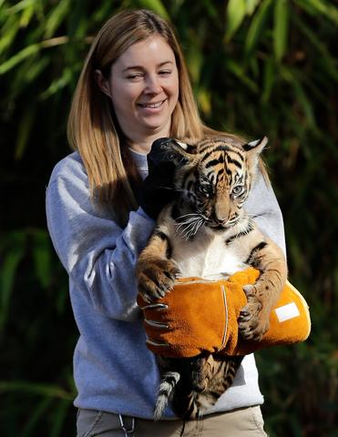 "A female Sumatran Tiger cub named Sukacita is held by biologist Leigh Pitsko after the cub performed her ""swim test"" in a moat of the Great Cats exhibit at the National Zoo November 6, 2013 in Washington, DC. Sukacita is one of two Sumatran Tigers born August 5, 2013 and before going on exhibit they must pass the swim test. The cubs must be able to keep their heads above water, navigate the shallow end of the moat, and have the strength and agility to climb onto dry land on their own."