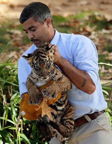 "A male Sumatran Tiger cub named Bandar is carried by curator Craig Saffoe after the cub performed his ""swim test"" in a moat of the Great Cats exhibit at the National Zoo November 6, 2013 in Washington, DC. Bandar is one of two Sumatran Tigers born August 5, 2013 and before going on exhibit they must pass the swim test. The cubs must be able to keep their heads above water, navigate the shallow end of the moat, and have the strength and agility to climb onto dry land on their own."