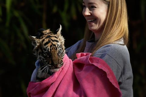 "A female Sumatran Tiger cub named Sukacita is dried off by biologist Leigh Pitsko after performing the cub performed her ""swim test"" in a moat of the Great Cats exhibit at the National Zoo November 6, 2013 in Washington, DC. Sukacita is one of two Sumatran Tigers born August 5, 2013 and before going on exhibit they must pass the swim test. The cubs must be able to keep their heads above water, navigate the shallow end of the moat, and have the strength and agility to climb onto dry land on their own."