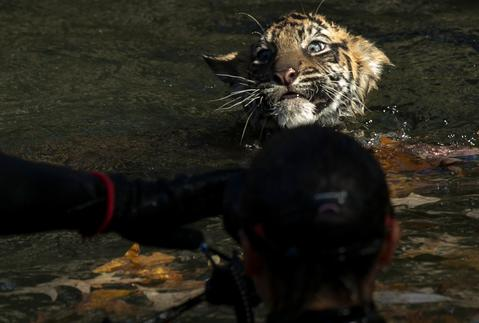 "A male Sumatran Tiger cub named Bandar performs his ""swim test"" in a moat of the Great Cats exhibit at the National Zoo November 6, 2013 in Washington, DC. Bandar is one of two Sumatran Tigers born August 5, 2013 and before going on exhibit they must pass the swim test. The cubs must be able to keep their heads above water, navigate the shallow end of the moat, and have the strength and agility to climb onto dry land on their own."