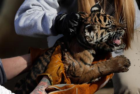 "A female Sumatran Tiger cub named Sukacita is lifted by biologist Leigh Pitsko (R) after the cub performed her ""swim test"" in a moat of the Great Cats exhibit at the National Zoo November 6, 2013 in Washington, DC. Sukacita is one of two Sumatran Tigers born August 5, 2013 and before going on exhibit they must pass the swim test. The cubs must be able to keep their heads above water, navigate the shallow end of the moat, and have the strength and agility to climb onto dry land on their own."