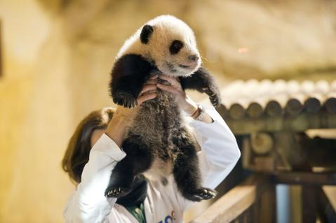 A keeper holds three month old giant panda Xing Bao during his presentation to the press at Madrid's Zoo on December 5, 2013.