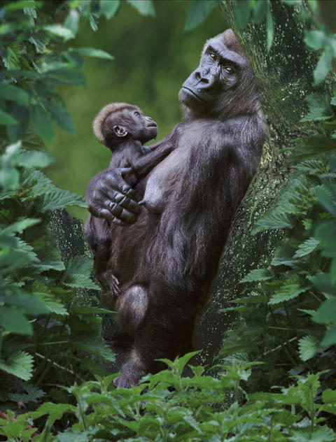 "Western lowland gorillas, here a mother is shown with her baby in the doc ""One Life,"" are endangered in central Africa."