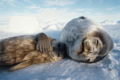 "Weddell seals give birth on pack ice in remote areas away from any other predators. In the doc ""One Life,"" the mother shields her pup from freezing winds and snow."