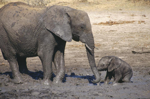 "African elephants at the Hwange National Park in Zimbabwe in the documentary ""One Life."""