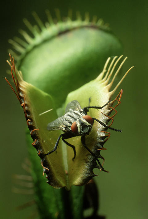 A Venus Fly-Trap catches its prey.