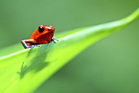 Strawberry poison arrow frogs, no larger than a human fingernail, carry their tadpoles one-by-one up a tree and into water pooled in the center of a leaf mass. They then feed them with unfertilized eggs.