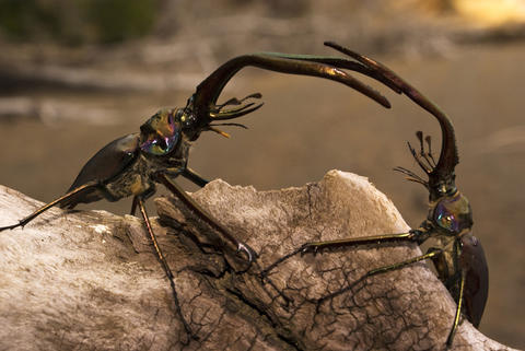 Stag beetles fight for the right to mate with a female.