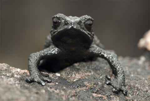 Pebble toads get their name from their reaction when threatened: They freeze and fall like a pebble.