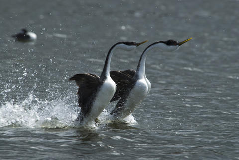 "Western grebes in Wyoming do a courtship dance in ""One Life."""