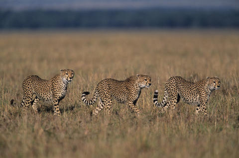 Three Cheetahs prowl their hunting grounds on the African savannah.